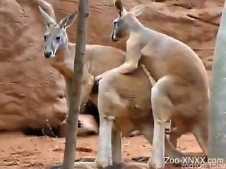 Two pretty kangaroos make love in natural environment