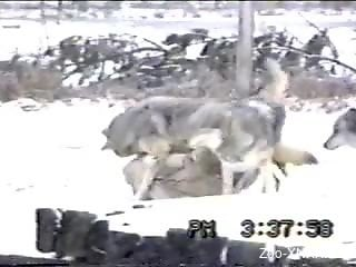 Pack of wolves going crazy in this outdoors video