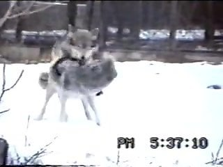 Guy at the zoo tapes two wolves fucking