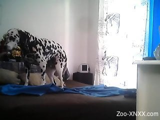 Dalmatian doggo is chilling on the bed in the room