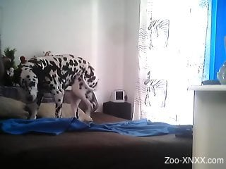 Dalmatian is here to fuck his master in the ass